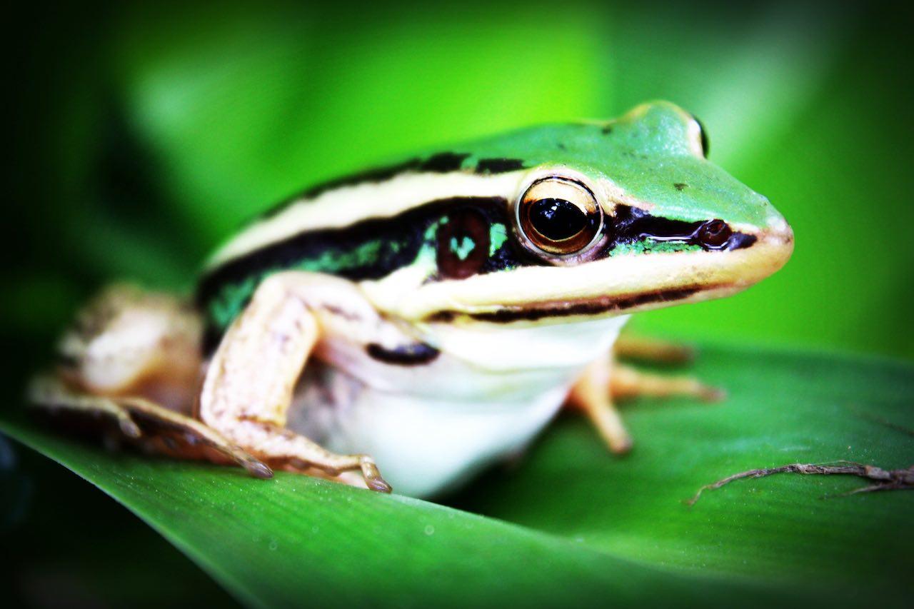 Treefrog Panama