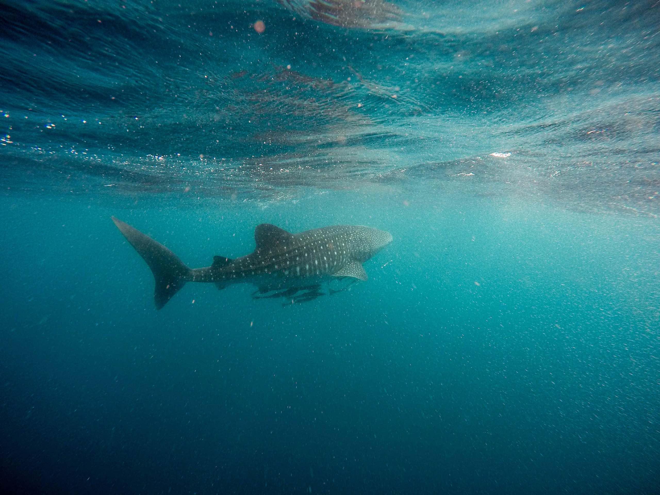 Whaleshark Isla Holbox Mexico