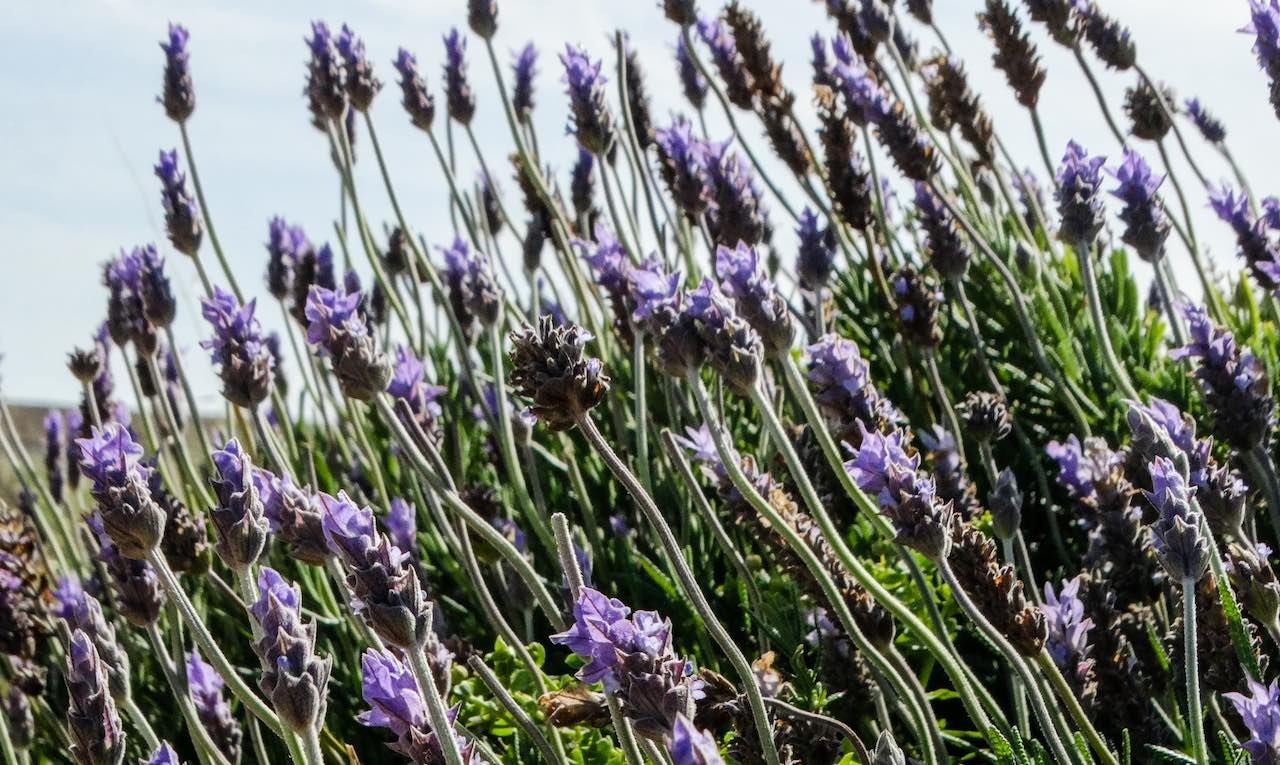 Lavender Sicily