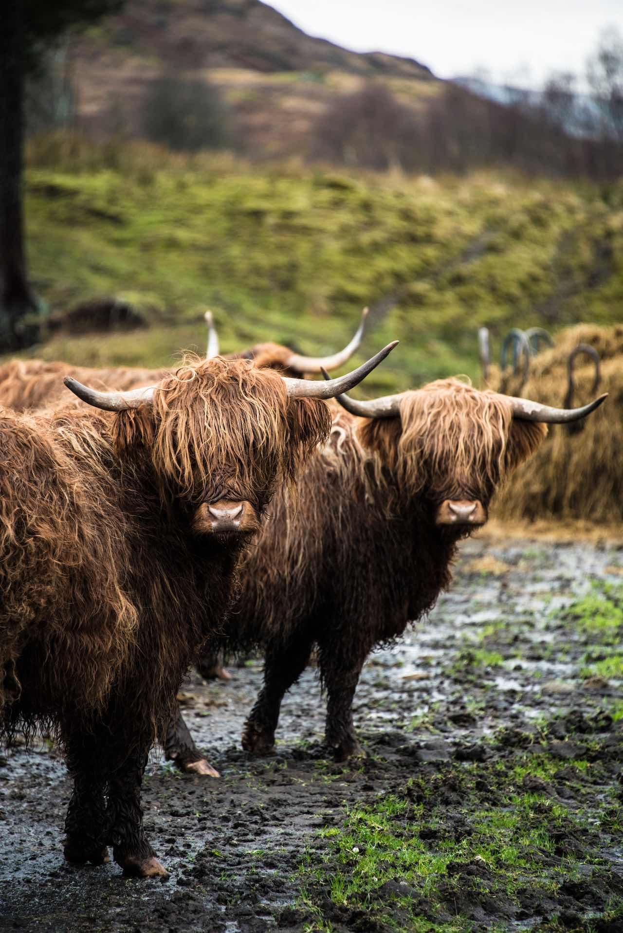 Hairy Coo HIghlands Scotland