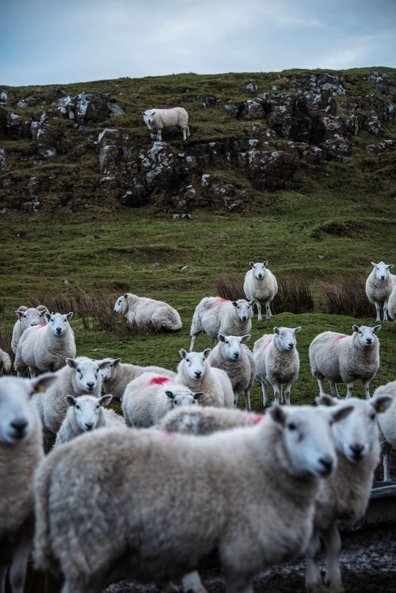 Sheep on Skye Scotland
