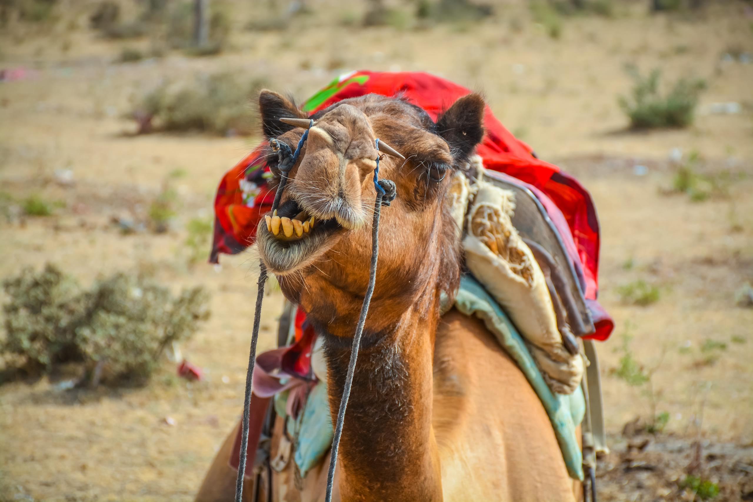 Bikaner Camel Trek Rajasthan India