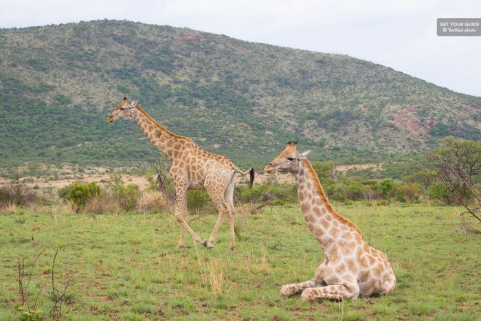 Full-Day Pilanesberg Game Reserve Safari With Closed Vehicle