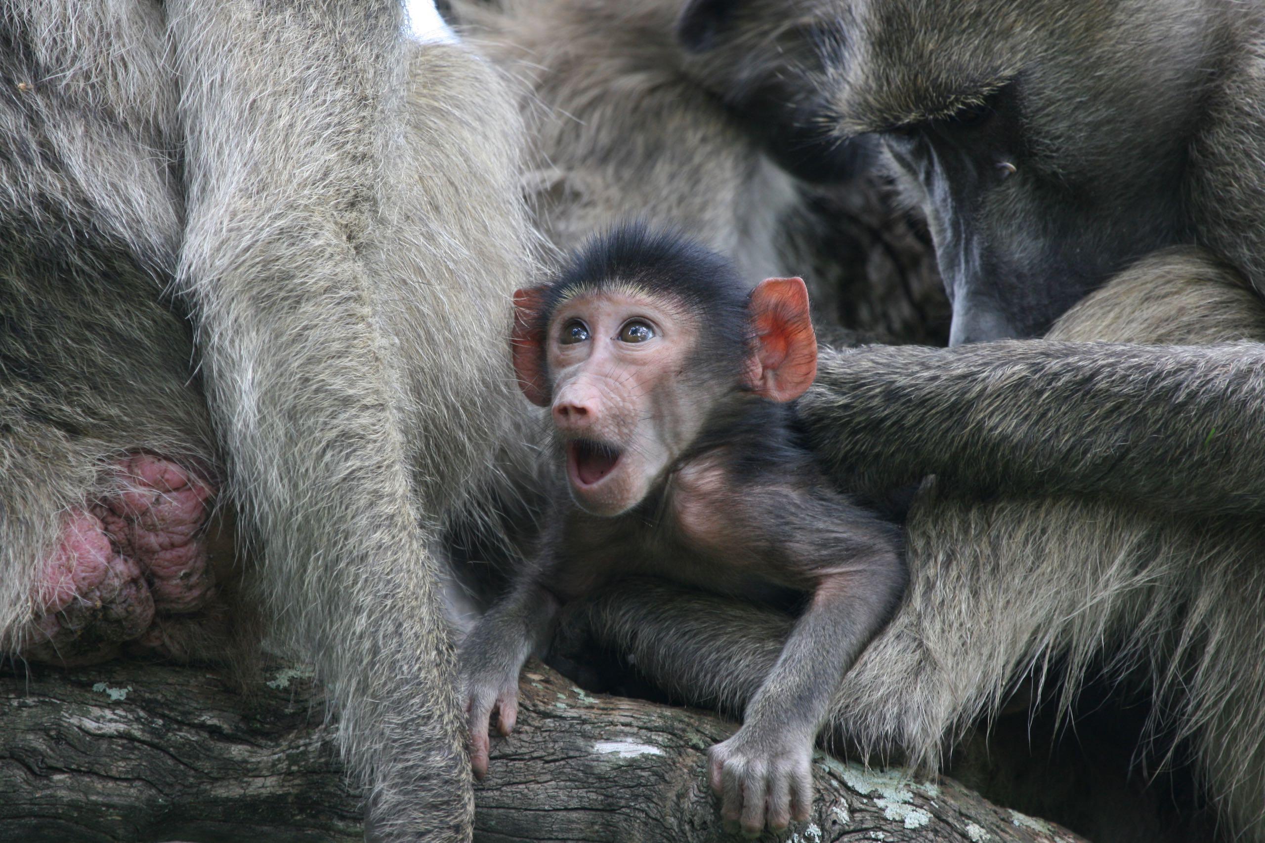 Baboon Kruger Park