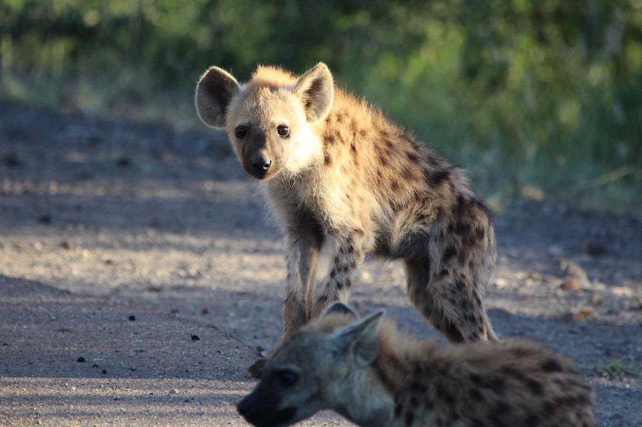 Hyena Kruger Park