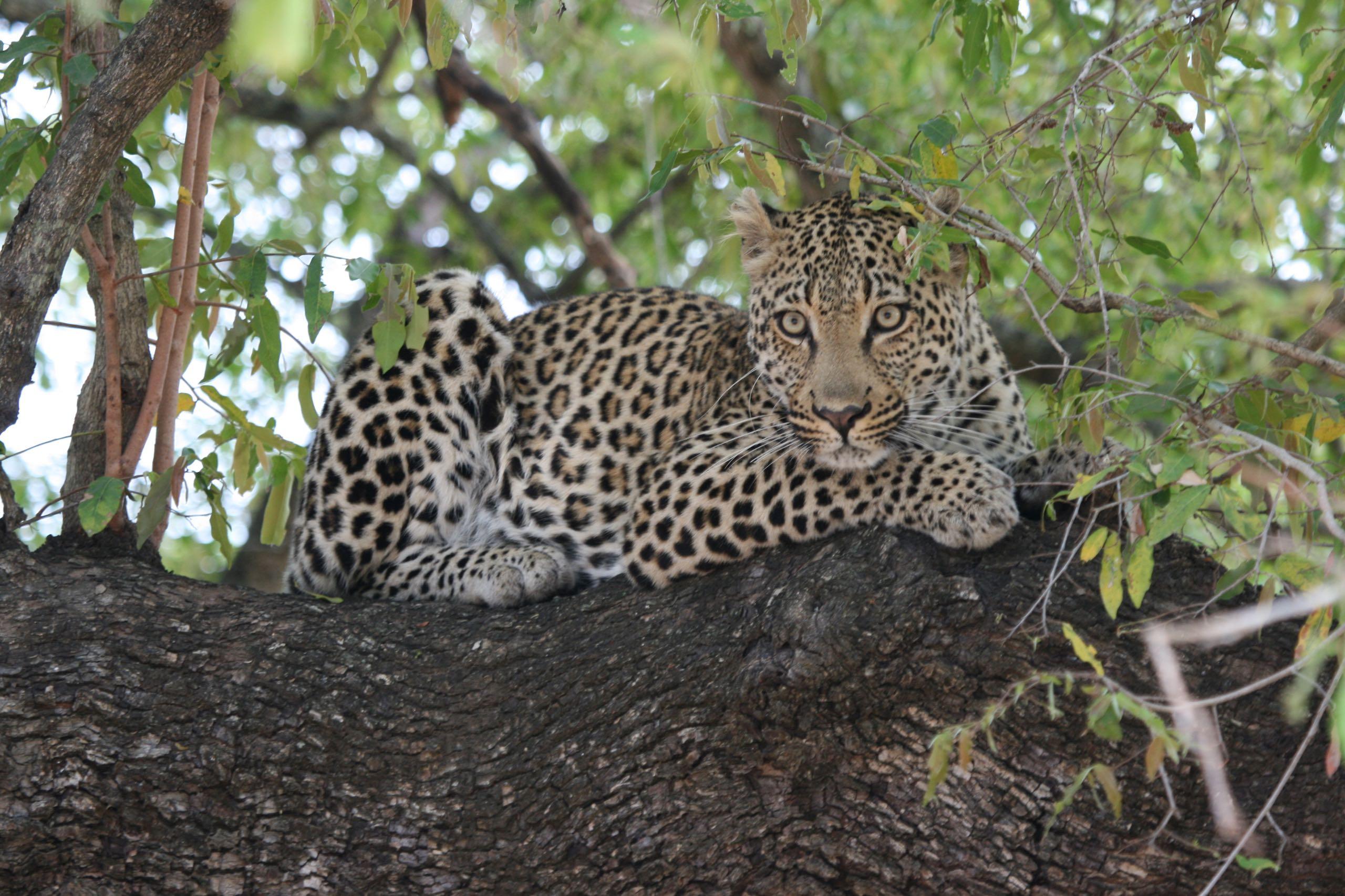 Leopard Kruger Park