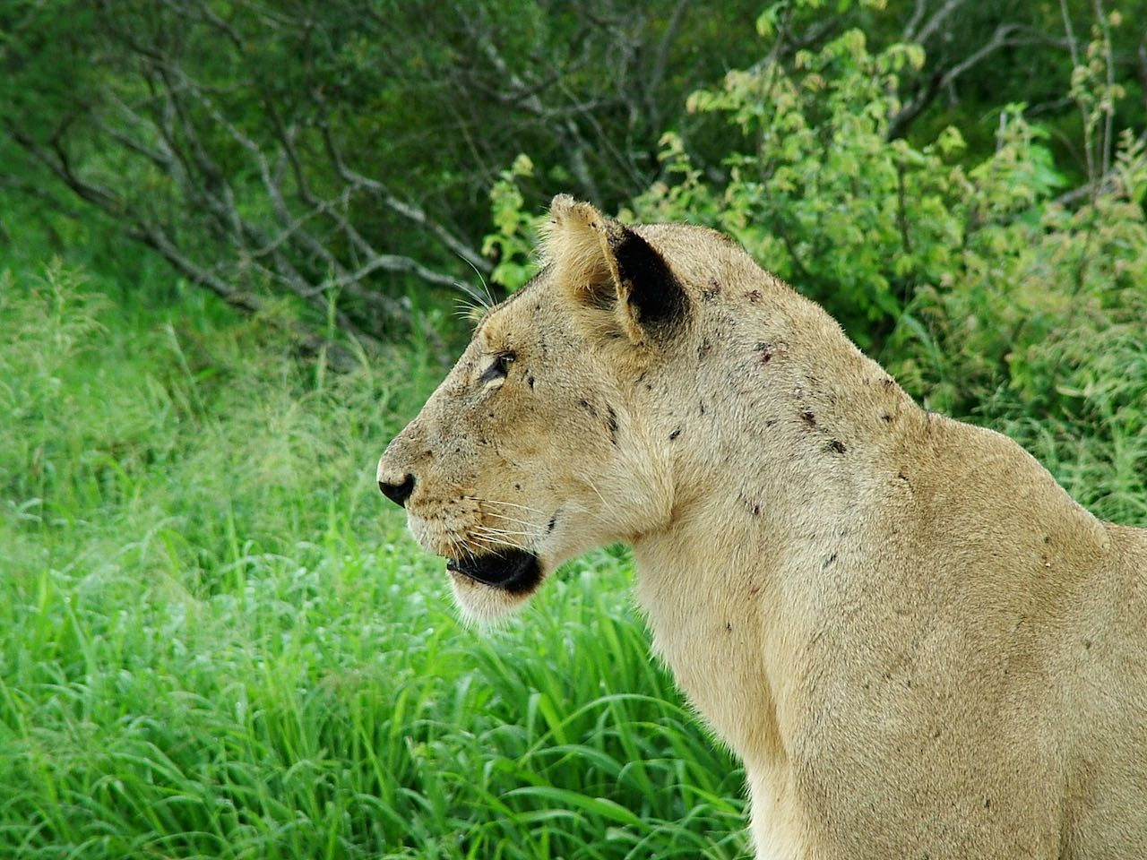 Lionness Kruger Park