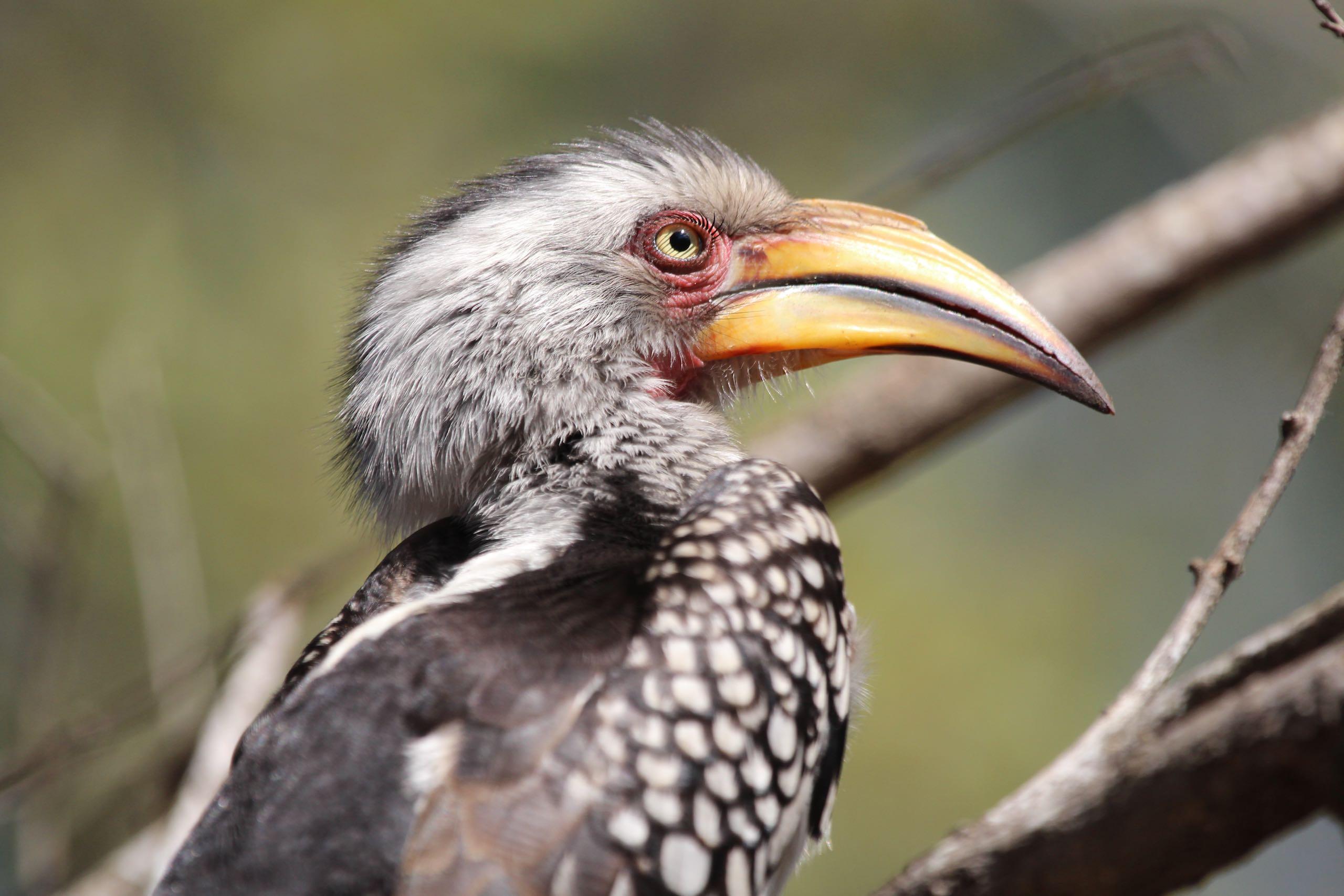 Yellow Billed Hornbill Kruger Park