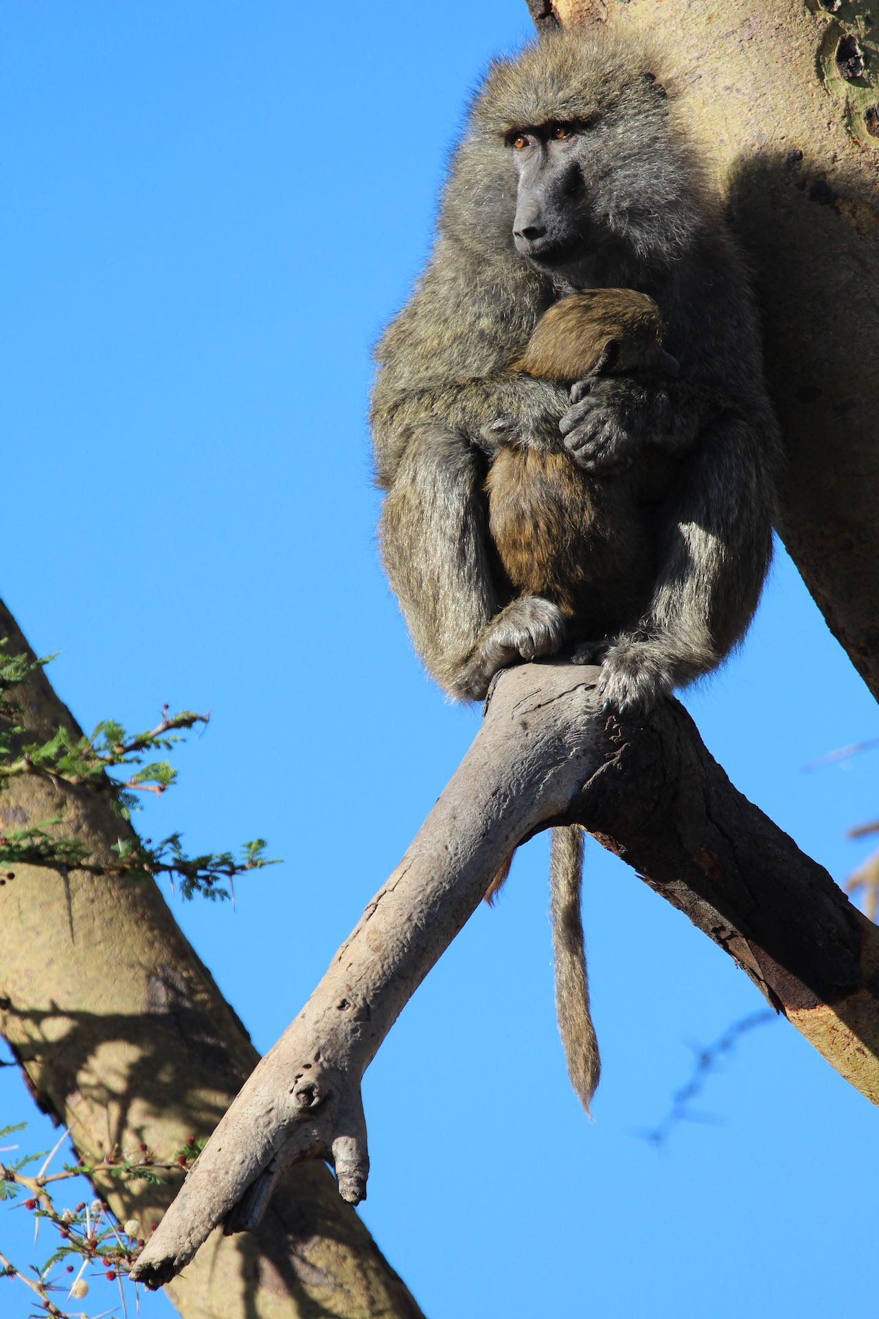 Olive Baboon