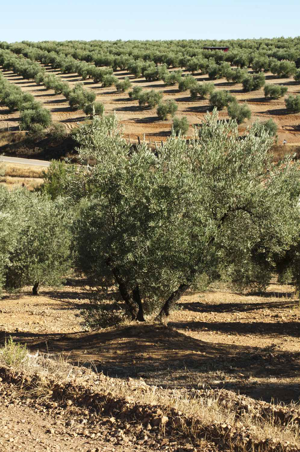 Olive Groves Andalucia Spain