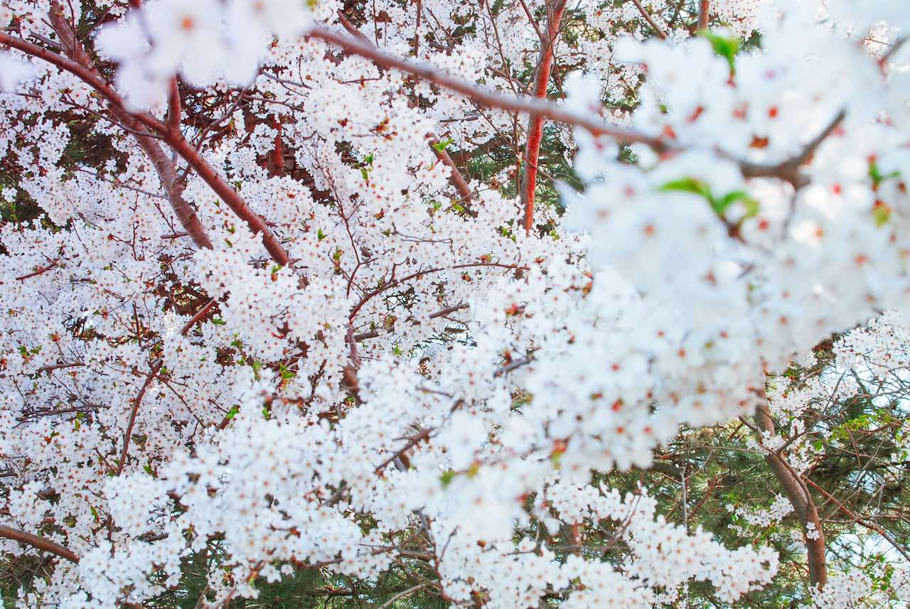 Canada Blossom Spring
