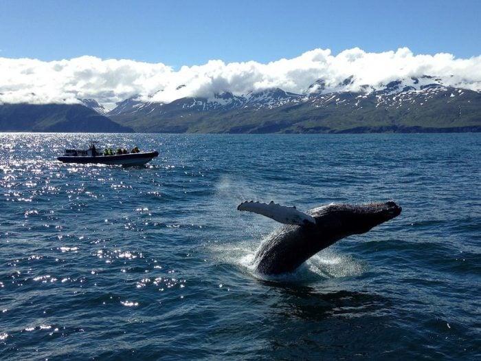 Húsavík: Original Big Whale Safari & Puffin Island Tour