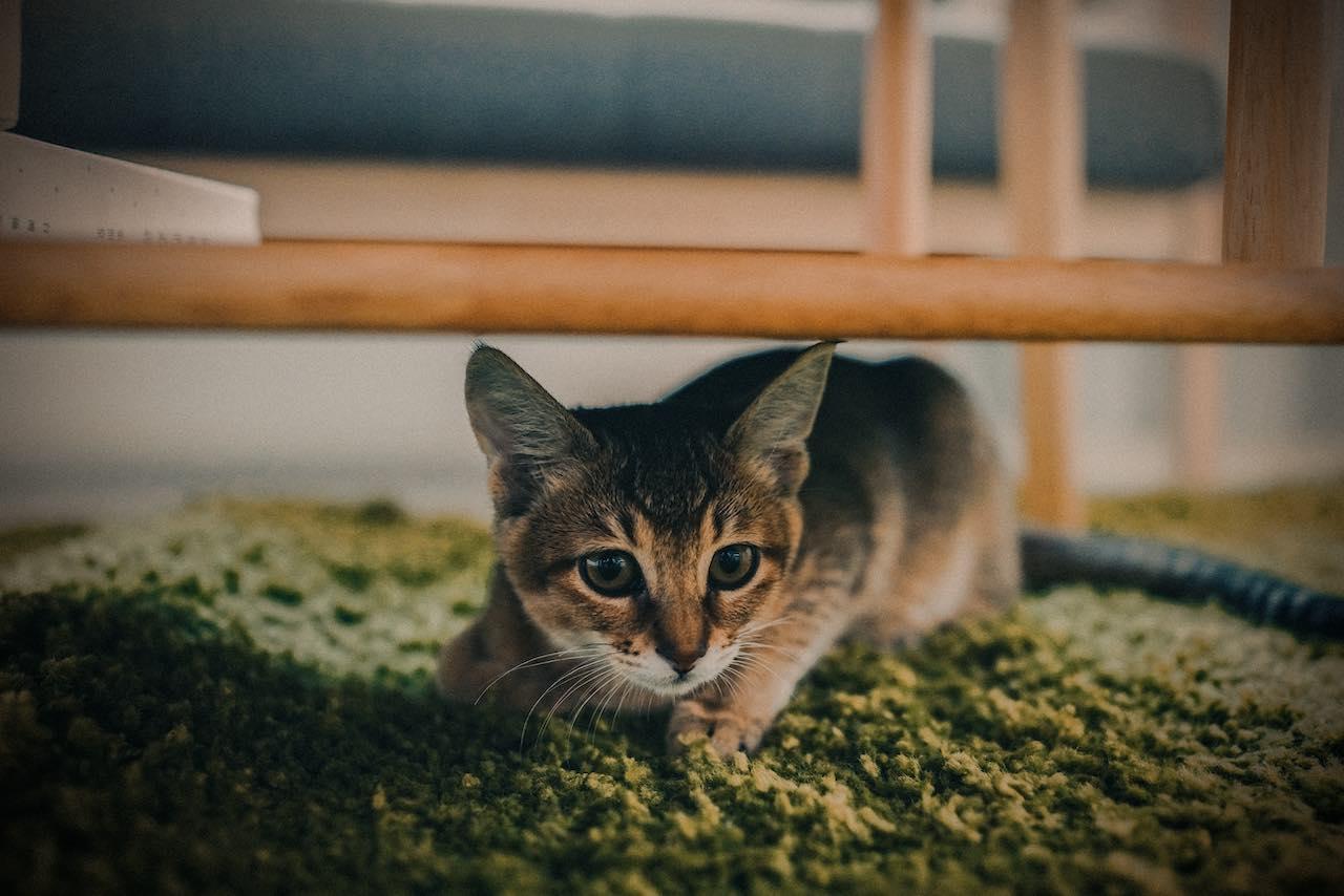 Tea Taiwan Cat