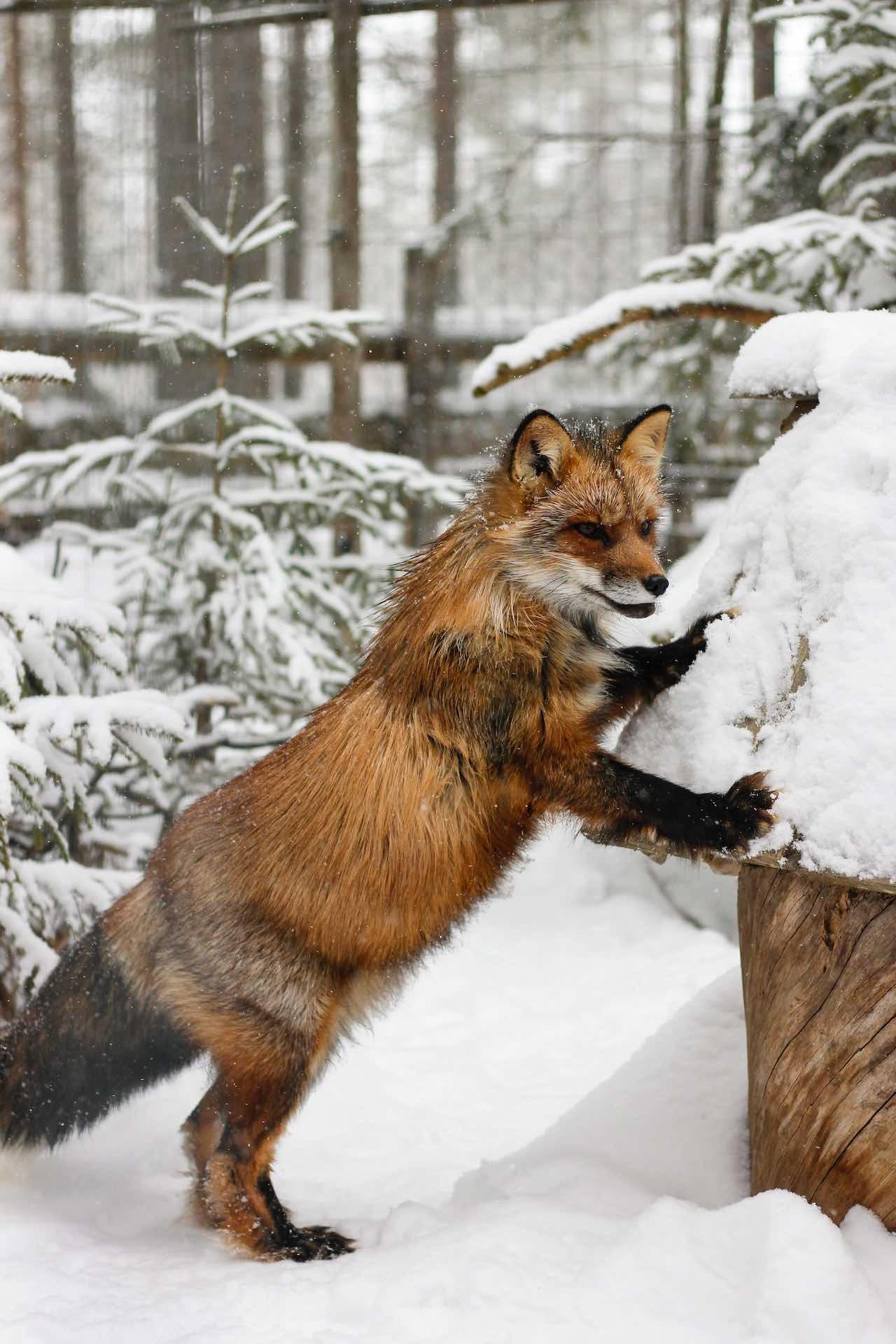 Fox in the snow Lapland