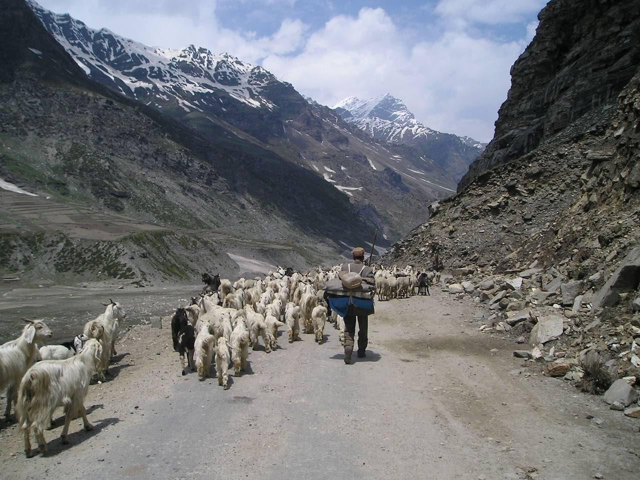 Sheepherder and flock