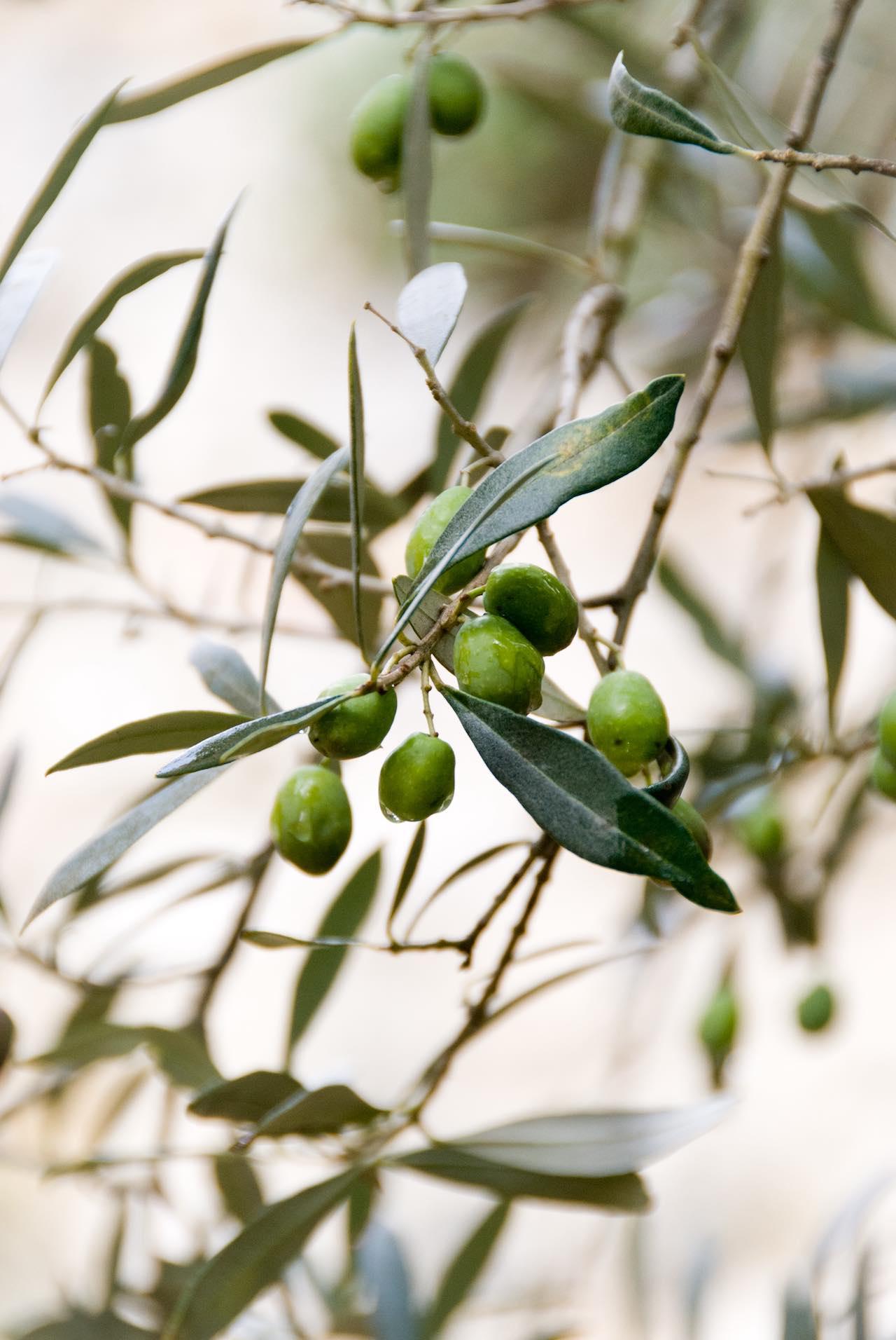Menorca Olive Trees